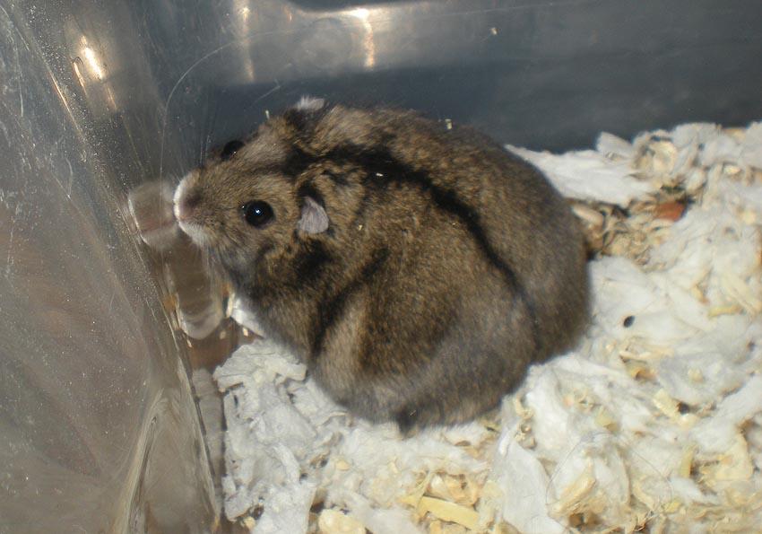Hamsterin Kasvattajat