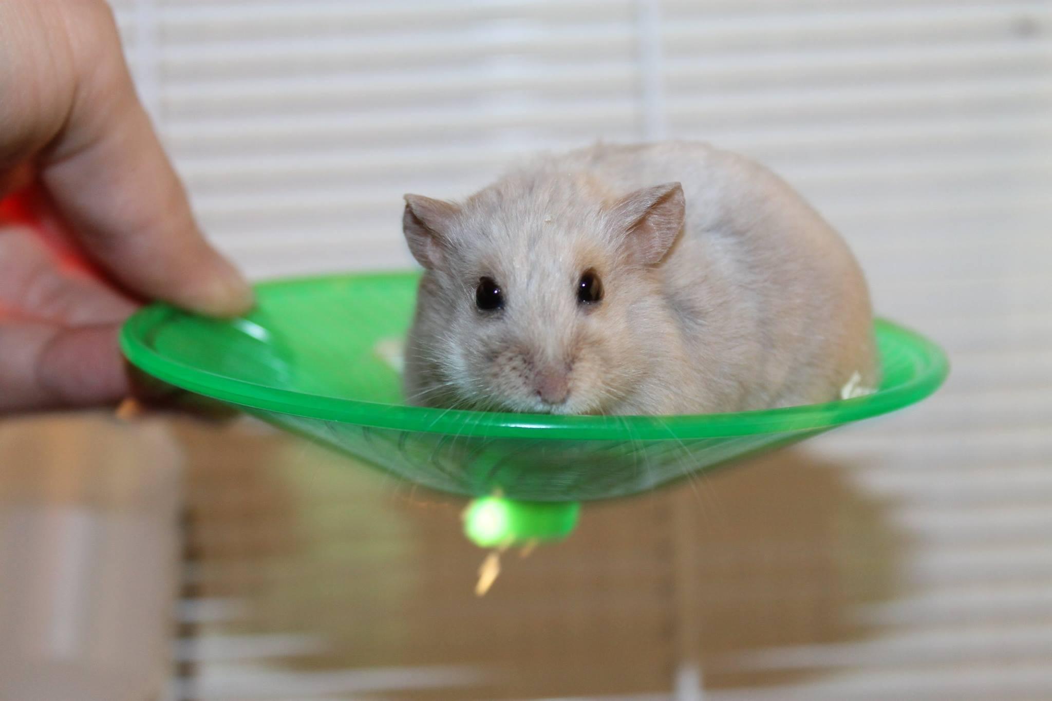Suomen Hamsteriyhdistys